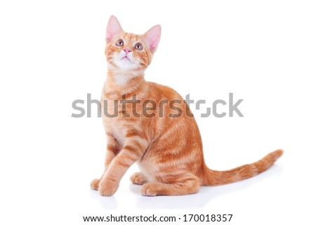 Red cat looking up on white background - stock photo
