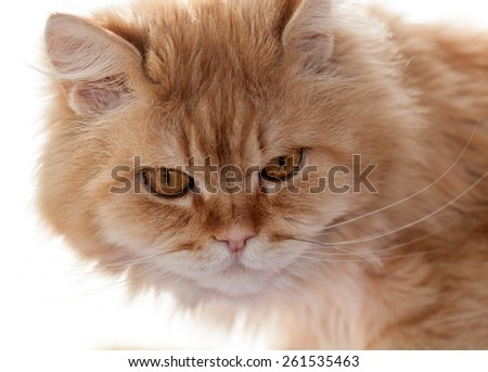 red cat looks carefully closeup - stock photo