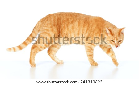 Red cat portrait isolated on white background - stock photo