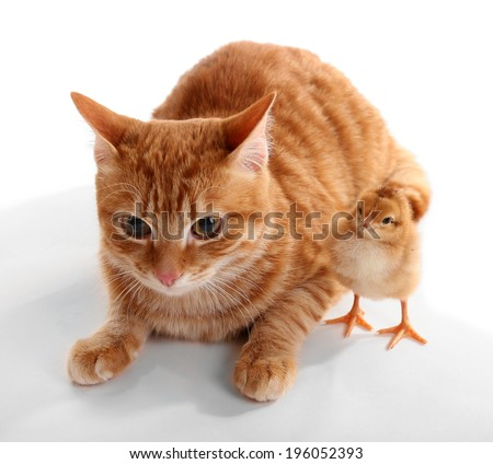 Red cat with cute chicken on white background - stock photo