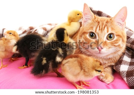 Red cat with cute ducklings on pink pillow close up - stock photo