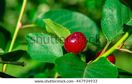 red cherries,fruits,vitamins,green,leaves,fresh fruits,red fruits,small red fruits,cherry,cherry tree,leaves,amazing nature,red vitamins,red and green nature,natural cherries,hanged cherries,nature - stock photo