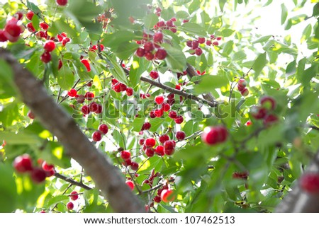 red cherries on the tree - stock photo