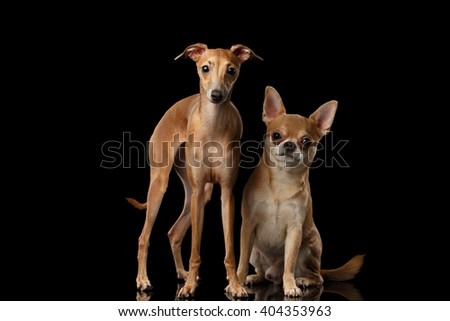 Red Chihuahua and Italian Greyhound Dogs Sitting on Mirror and Looking in Camera isolated on Black background - stock photo