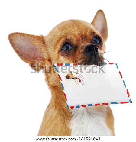 Red chihuahua dog with post envelope isolated on white background. Closeup. - stock photo