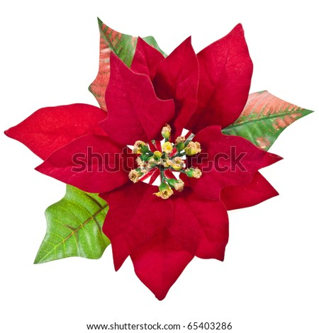 red christmas flower isolated on a white background - stock photo