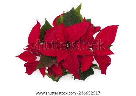 Red christmas flower on white background - stock photo