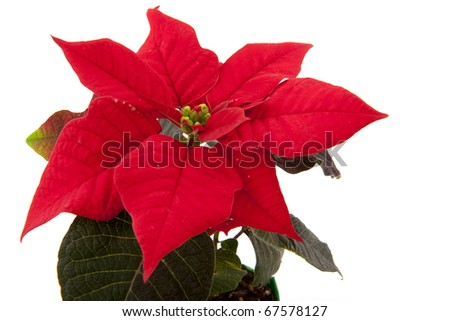 Red Christmas Poinsettia plant isolated over white - stock photo