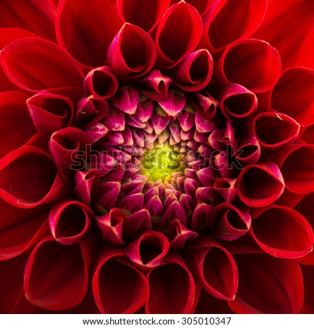 Red chrysanthemum flower close-up, abstract background - stock photo