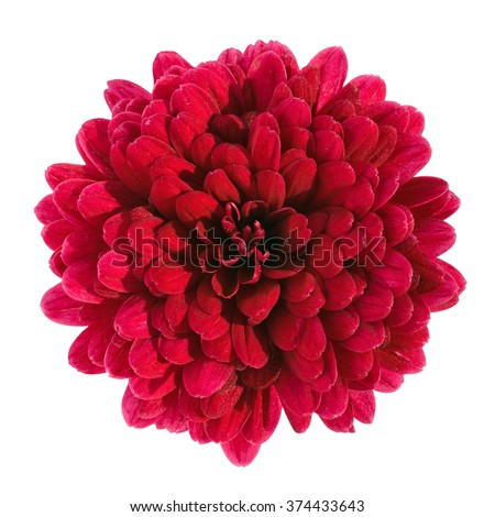 red chrysanthemum flower isolated on white background with clipping path - stock photo