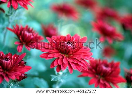 red chrysanthemum flowers - stock photo