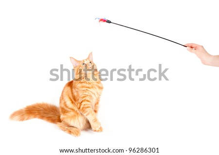 Red classic tabby Maine Coon cat looking at a feather toy - stock photo