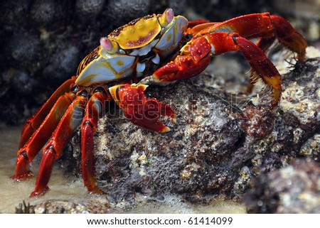 red cliff crab, Galapagos - stock photo