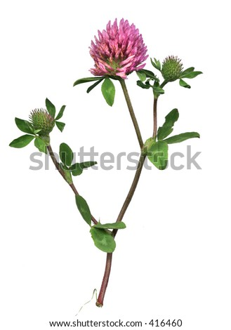 Red clover of the meadow - stock photo
