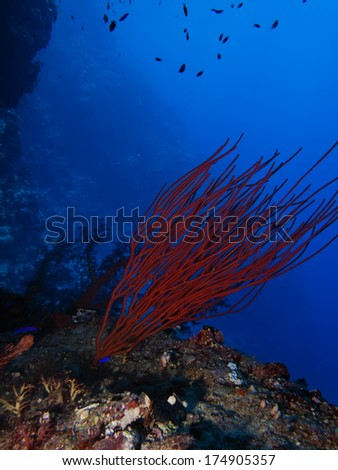 Red Cluster whip coral (Ellisella juncea)  - stock photo