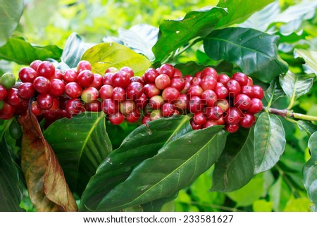 Red coffee beans on tree. - stock photo