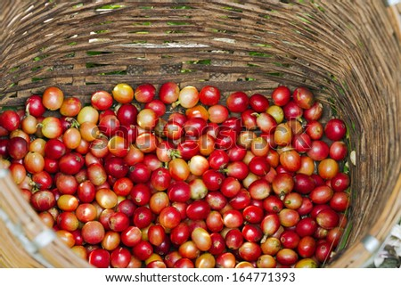 Red Coffee berries in bamboo basket - stock photo