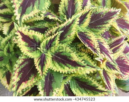 Red coleus plant close up for background - stock photo