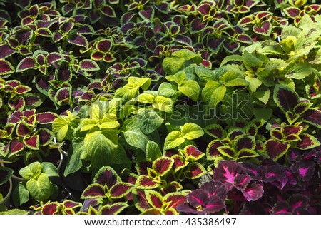 Red Coleus plant with yellow edges closeup on a flower bed, view from above (nature background) , ornamental trees . Home decor . purple plant closeup - stock photo