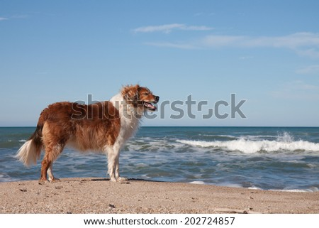 red collie dog standing on the sand at a surf beach with clear blue sunny sky  - stock photo