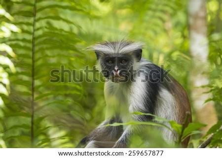 Red Colobuse Monkey peeking around a branch in Jozani Chwaka Bay National Park, Zanzibar - stock photo