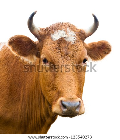 red cow looks into camera, isolated over white - stock photo