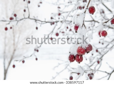 Red Crab Apples Fruit Still on Tree with Frost against White Snowy Background - stock photo