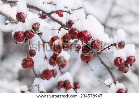 Red crab apples on branch with heavy snow in winter - stock photo