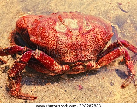 Red crab on the sand beach by the sea, sea animal on the beach, crab closeup, crab in wild nature, seaside life, natural pattern on animal, sea hunter, sea finding, bio-mechanical inspiration animal - stock photo