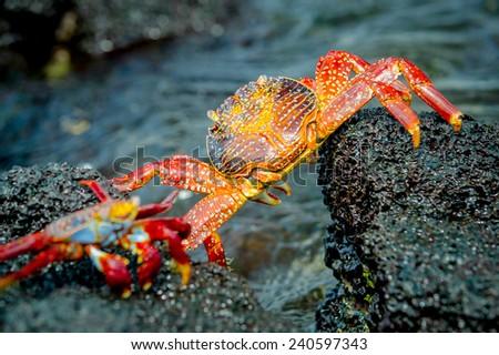 red crabs in rocks galpagos islands ecuador closeup - stock photo