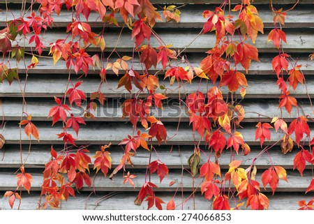Red creeper leaves on wooden wall at autumn - stock photo