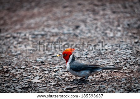 Red-crested cardinal on the ground holding food in it's bill - stock photo
