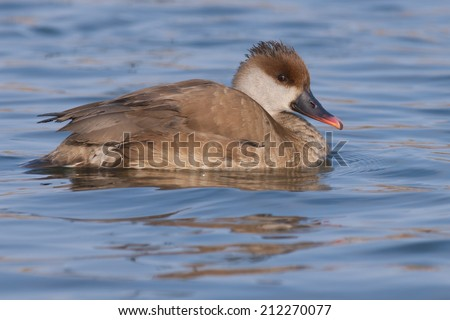 Red Crested Pochard female on water - stock photo