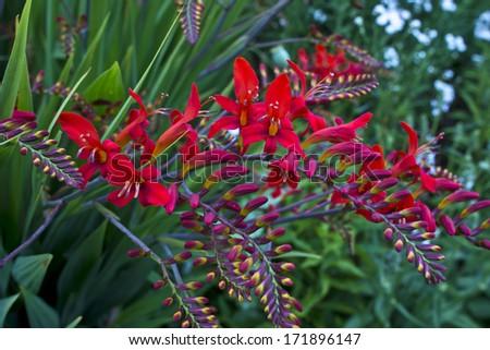 Red Crocosmia Lucifer in a garden. - stock photo
