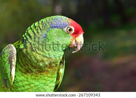 Red Crown Amazon - stock photo