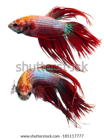 Red crown tail siamese fighting fish, betta splendens. - stock photo