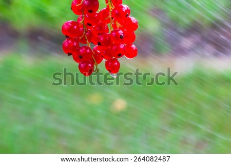 Red currant fruit poured water from a hose - stock photo