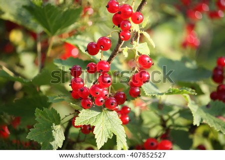 Red currants in the garden. - stock photo