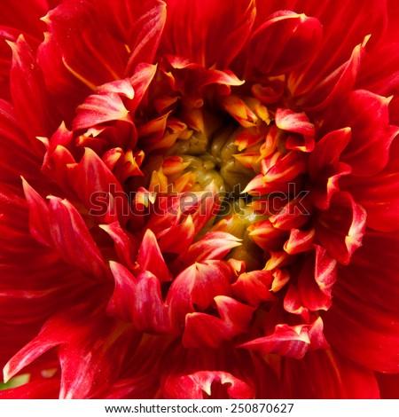 red dahlia background - stock photo