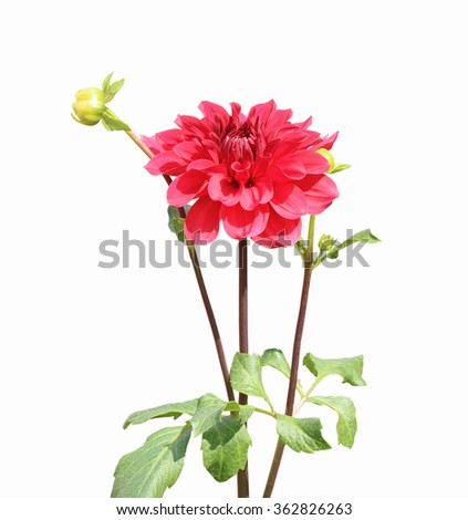 Red dahlia flower isolated on white background - stock photo