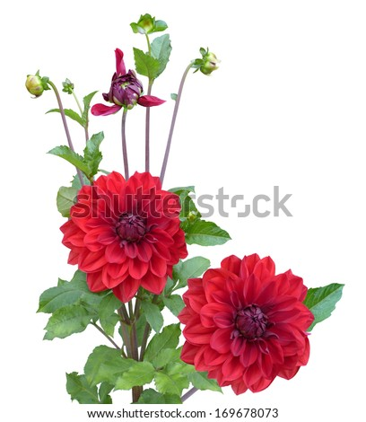 Red Dahlias flower plant isolated on white background - stock photo