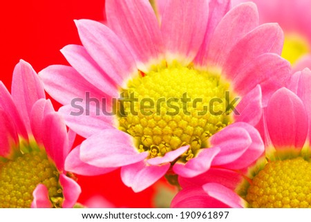 Red daisy close up - stock photo