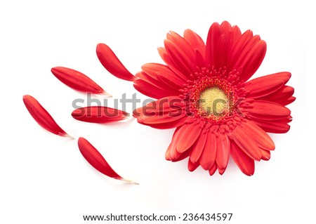 Red daisy flower with some petals off isolated on white background - stock photo