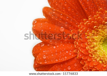 Red daisy with teardrops on white - stock photo