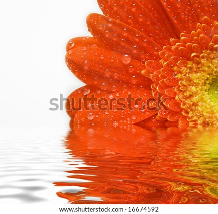 Red daisy with water-drops on white - stock photo