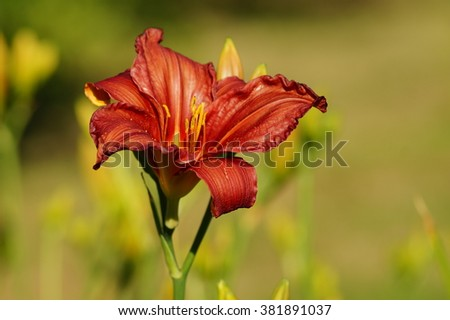 Red day lily flowers in botanical garden. The beauty of decorative flower. - stock photo