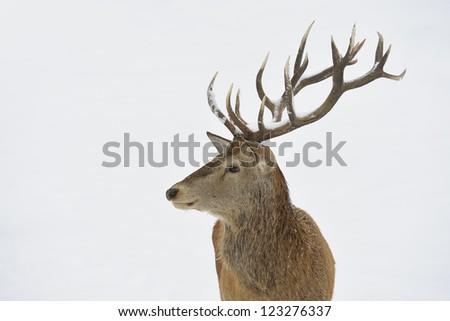 Red deer (Cervus elaphus) in winter snow. Head and antler portrait. - stock photo