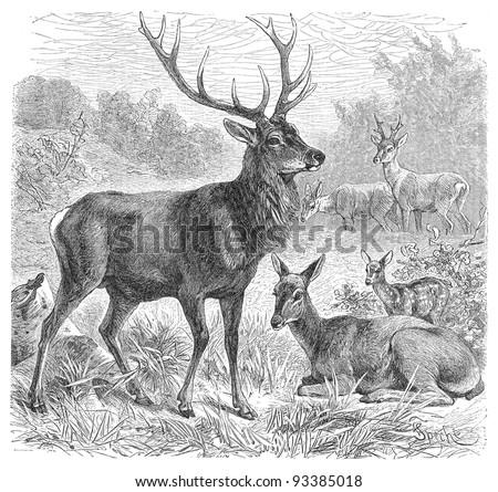 Red deer (Cervus Elaphus) / vintage illustration from Meyers Konversations-Lexikon 1897 - stock photo