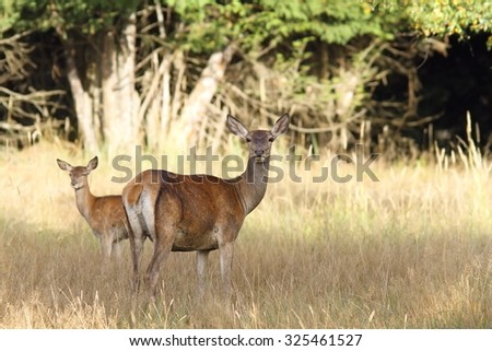 red deer hind with young in grazing glade ( Cervus elaphus ) looking towards the camera - stock photo