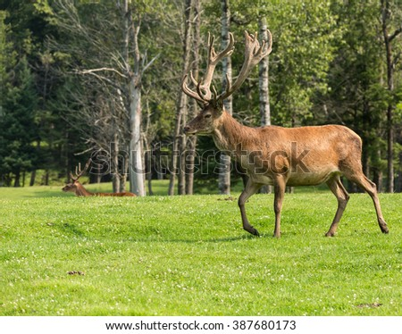 Red deer in a field in the summer - stock photo